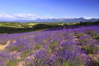 ラベンダー一面の美瑛の丘