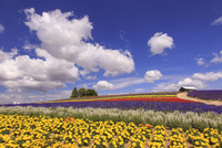 かんのファームのお花畑