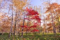 紅葉の然別湖畔の森の中