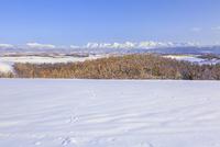 紅葉のカラマツに新雪降りかかる美瑛の丘