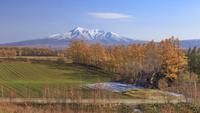 黄葉の防風林と斜里岳