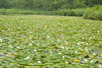 睡蓮咲くいもり池