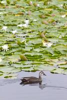 いもり池に浮かぶ鴨