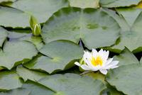 いもり池に咲く睡蓮