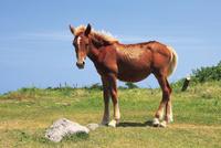国賀海岸に放牧されている馬