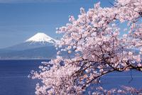 ソメイヨシノと富士山