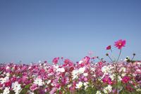 青空の下のコスモス畑