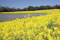 菜の花咲く春のあわじ花さじき