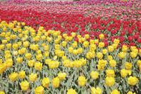 チューリップが咲き誇る明石海峡公園