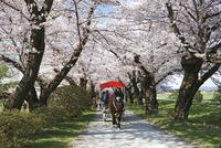 桜咲く北上展勝地 10790004845| 写真素材・ストックフォト・画像・イラスト素材|アマナイメージズ