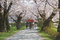 桜咲く北上展勝地 10790004848| 写真素材・ストックフォト・画像・イラスト素材|アマナイメージズ