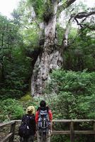 屋久島の縄文杉 10790005261| 写真素材・ストックフォト・画像・イラスト素材|アマナイメージズ