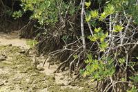 宮尻のマングローブ林