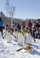 旭山動物園,ペンギンの散歩 10790006845| 写真素材・ストックフォト・画像・イラスト素材|アマナイメージズ