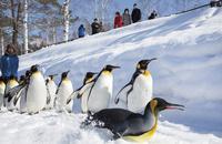 旭山動物園,ペンギンの散歩 10790006854| 写真素材・ストックフォト・画像・イラスト素材|アマナイメージズ