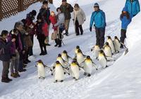 旭山動物園,ペンギンの散歩