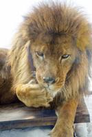 旭山動物園,ライオン