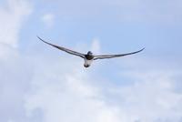 空を舞うカツオドリ 10790007085| 写真素材・ストックフォト・画像・イラスト素材|アマナイメージズ