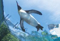 旭山動物園にて水槽で泳ぐキングペンギン