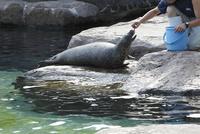 飼育員から餌をもらう旭山動物園のアザラシ