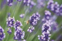 彩香の里のラベンダー畑で蜜の採集をするミツバチ