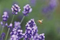 彩香の里のラベンダー畑で蜜の採集にきたミツバチ