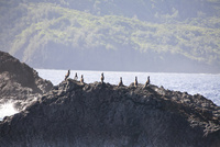 小笠原諸島に生息するカツオドリの群れ