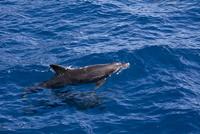 小笠原諸島海域にて泳ぐイルカ