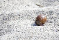 小笠原父島のコペペ海岸に生息するオカヤドカリ
