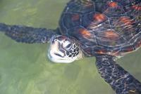小笠原母島の沖港の保護施設のプールで泳ぐウミガメ
