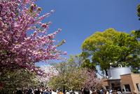 造幣局 桜の通り抜け 10790007701| 写真素材・ストックフォト・画像・イラスト素材|アマナイメージズ