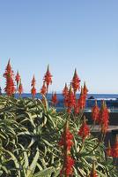 伊豆白浜のアロエの里に咲き誇るアロエの花