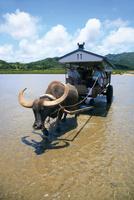 西表島にて水牛車で由布島へ渡る