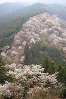 春の吉野山 吉野千本桜 10790009179| 写真素材・ストックフォト・画像・イラスト素材|アマナイメージズ