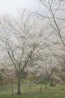 春の吉野山 吉野千本桜