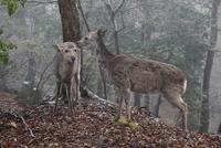 奈良公園若草山のニホンジカ
