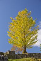岡城址の黄葉するイチョウ 10790011688| 写真素材・ストックフォト・画像・イラスト素材|アマナイメージズ