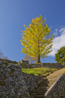 岡城址の黄葉するイチョウ 10790011689| 写真素材・ストックフォト・画像・イラスト素材|アマナイメージズ