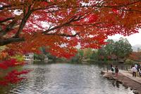 紅葉映える金鱗湖