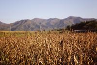 大豆畑 10798000116| 写真素材・ストックフォト・画像・イラスト素材|アマナイメージズ