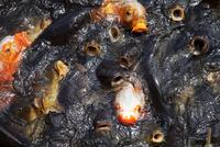 鯉の群れ 10798000122| 写真素材・ストックフォト・画像・イラスト素材|アマナイメージズ