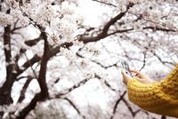 スマートフォンで桜を撮っている女性の手