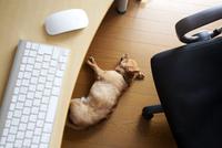 デスクの下で昼寝をしているチワワ