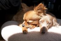 クッションの上で昼寝をしているチワワとミニチュアダックスフント 10802000004| 写真素材・ストックフォト・画像・イラスト素材|アマナイメージズ