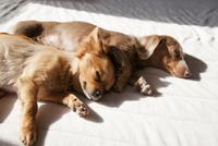 家の中で昼寝をしているミニチュアダックスフントとチワワ