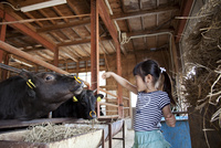 牛舎で牛に餌をやる女の子