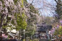 深大寺の桜