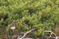 秋の立山・室堂平のハイマツと2羽のライチョウ