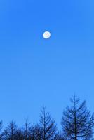 夜明けの空に月とカラマツの木立
