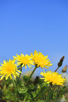 タンポポと青空 10816001592| 写真素材・ストックフォト・画像・イラスト素材|アマナイメージズ